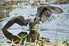 Tricolor heron fishing pose