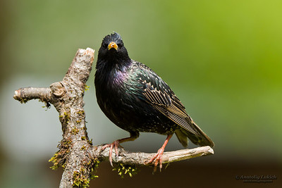 Common Starling (Sturnus vulgaris), also known as the European Starling or just Starling, is perching on a tree branch.  Обыкновенный скворец