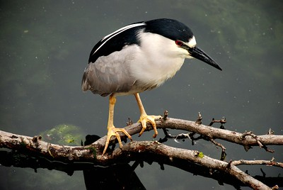 Black-Crowned Night Heron, Chicago