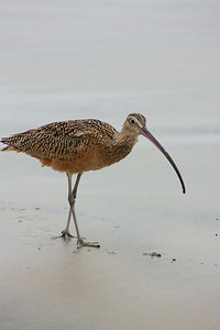 Long-Billed Curlew (Numenius americanus) looking for crustaceans