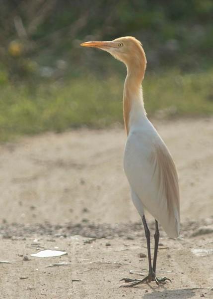 Cattle Egret in breeding colours