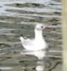 What gull?<br /> Copenhagen