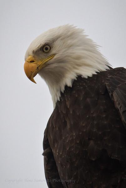 Bald Eagle, Samish Flats, WA