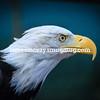 female Bald Eagle closeup