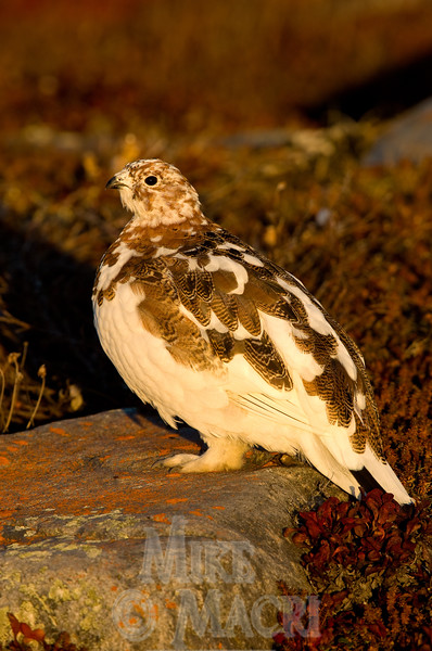 Willow ptarmigan, fall plumage, #4