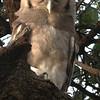 Verraeux's Owl