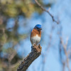 Eastern Bluebird perched looking right