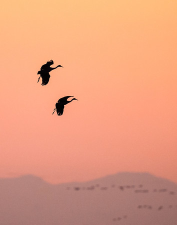 Sandhill cranes sunset fly-in