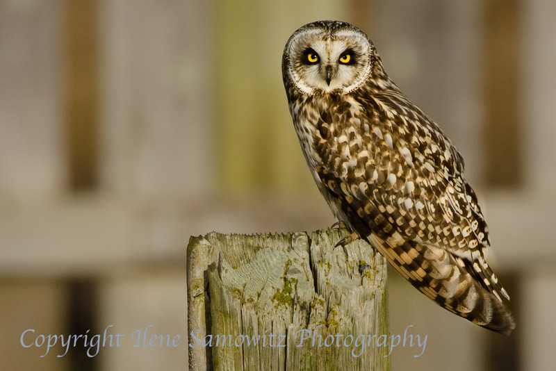 Short-eared Owl<br /> Boundary Bay<br /> British Columbia, Canada