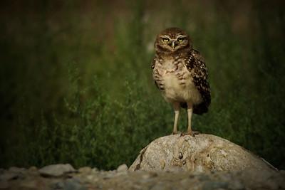 burrowing owl on proud rock