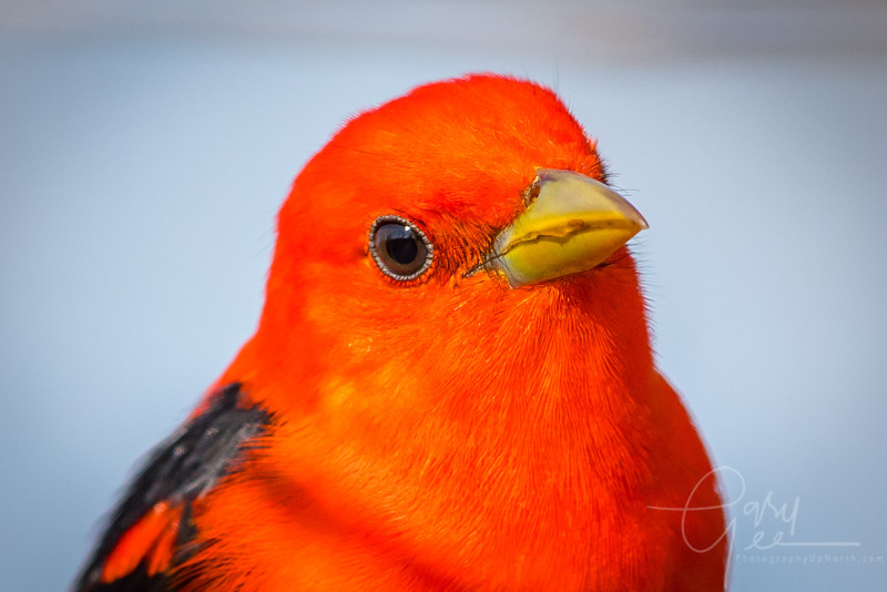 Scarlet Tanager Close-up