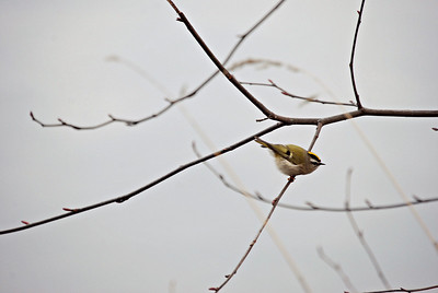 Golden-Crowned Kinglet, Green Lake