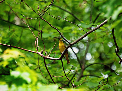 Female Summer Tanager, Central Park NY 2013