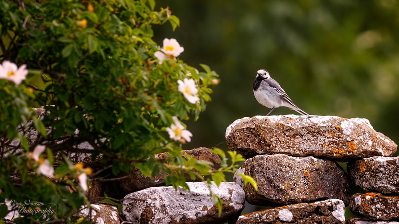 White Wagtail on Stonewall