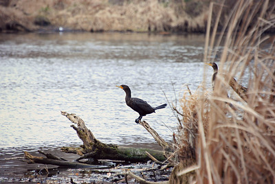 Double Crested Cormorant, The Fill