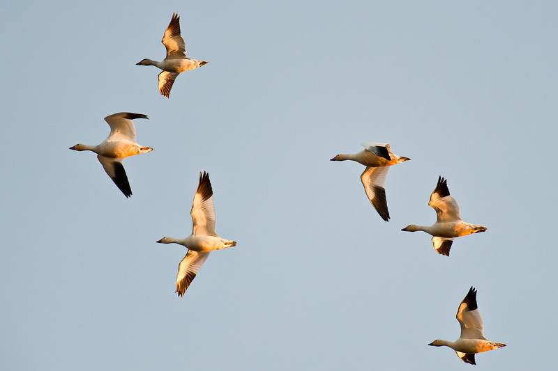 snow geese at first light