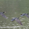 Great Black Cormorants