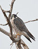 Perigrine falcon, Sacramento National Wildlife Refuge