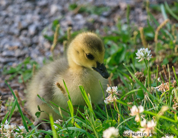 Gosling stopping to smell the flowers.