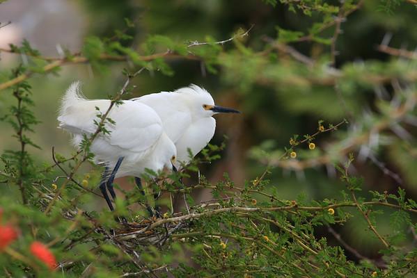 Nesting Snowy Egrets (Egretta thula)