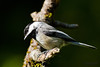 Black-capped Chickadee (Poecile atricapillus) is sitting on a tree branch.  Черношапочная гаичка