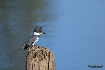 Belted Kingfisher (Megaceryle alcyon).  Belted Kingfishers are stocky, large-headed conspicuous water kingfisher birds.   Опоясанный пегий зимородок.