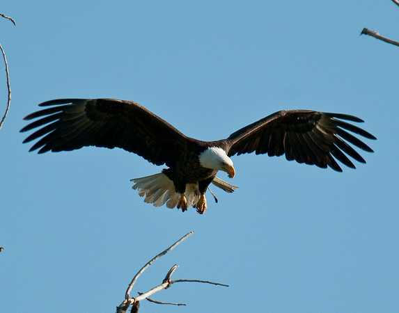 A bald eagle gets ready to land in the aerie, along the Yuba River
