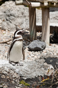 Close-up picture of Magellanic Penguin (Spheniscus magellanicus).