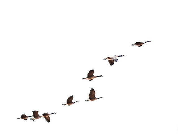 Canada Geese over Lake Tahoe