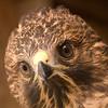 Red Shouldered Hawk (juvenile)