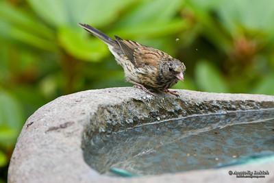 Dark-eyed Junco (Junco hyemalis) at a birdbath.