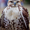 GRYFALCON<br /> © 2010 Howard Pitkow. All Rights Reserved.
