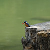Malachite Kingfisher - Alcedo cristata