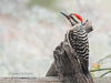 Ladderback woodpecker,  Kerrville, Texas