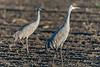 Sandhill crane pair at Staten island