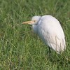 Cattke Egret resting