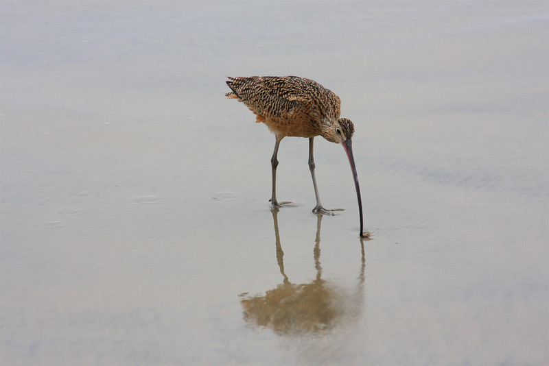 Long-Billed Curlew (Numenius americanus) digging for crustaceans,Torrey Pines Beach,California