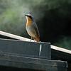 White-browed Robin Chat - Heuglin's Robin - Cossypha heuglini