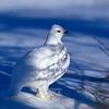 Ptarmigan, winter
