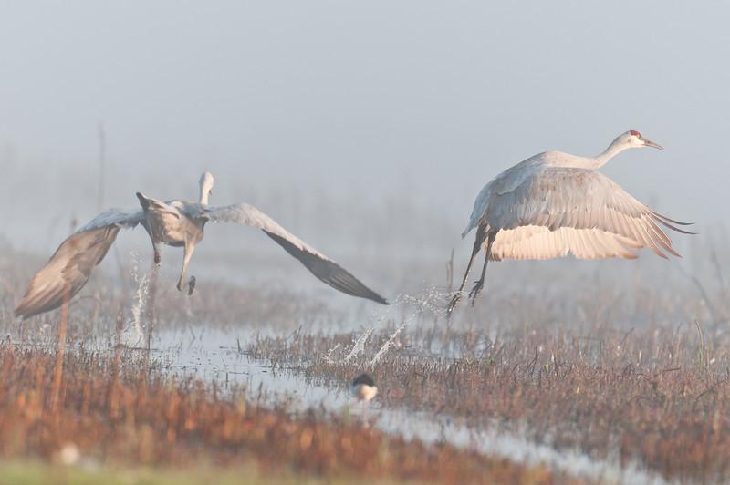 dawn flight, sandhills at Cosumnes River Preserve