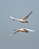 A pair of tundra swans