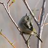 Ruby-crowned Kinglet at Covington Park, Big Morongo, CA.