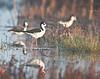 black-necked stilts, Cosumnes River Preserve
