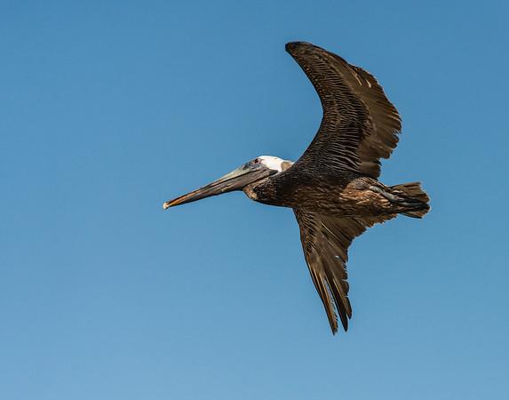 Brown Pelican, Quintana Roo