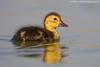 Pochard duckling