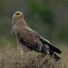 Tawny Eagle - Aquila rapax