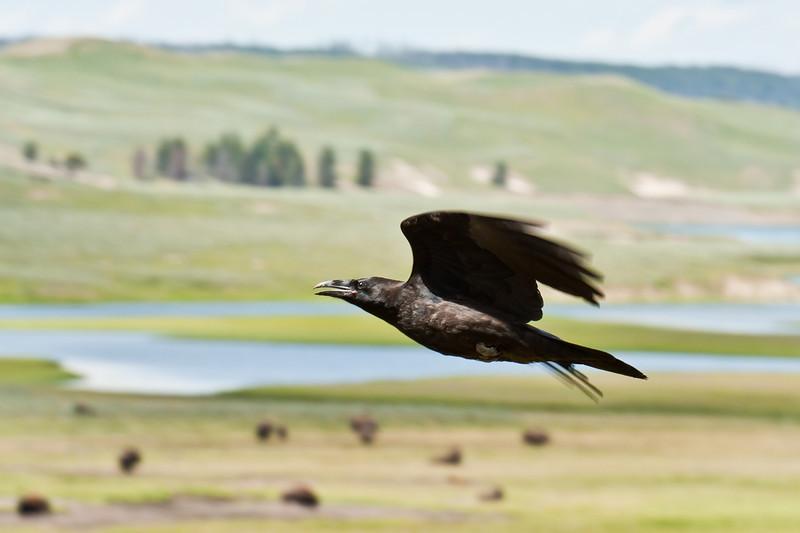Raven in the Hayden Valley, Yellowstone