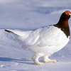Willow ptarmigan, courting