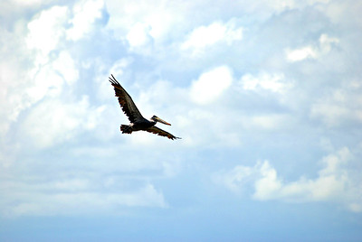 Brown Pelican in flight, Goose Island, Rockport TX