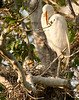 Great Egret and Nestling